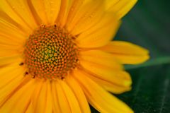 Macro shot small flower. Background wallpaper, yellow flower closeup Royalty Free Stock Image