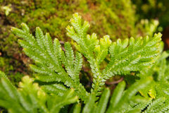 Macro shot of small green fern Stock Photography