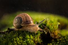 Small snail on green moss in rain royalty free stock photos
