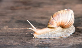 Macro shot of a snail on wooden floor Stock Photography
