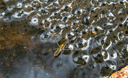 A macro shot of some frogspawn Royalty Free Stock Image