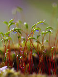 Macro shot of some moss spores absorbing raindrops. Shallow depth of field Stock Photos