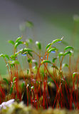 Macro shot of some moss spores absorbing raindrops. Shallow depth of field Royalty Free Stock Photo