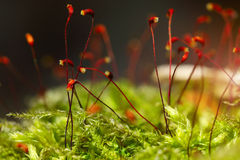 Macro shot of some moss spores absorbing raindrops. Shallow depth of field Royalty Free Stock Photos