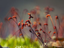 Macro shot of some moss spores. Shallow depth of field Royalty Free Stock Photos