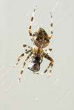 Macro Shot of Spider with Caught Prey Royalty Free Stock Photography