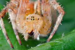 Macro shot of a  spider Royalty Free Stock Photo