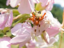 Colorful spider on a flower Royalty Free Stock Photography
