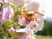 Colorful spider on a flower Royalty Free Stock Photo