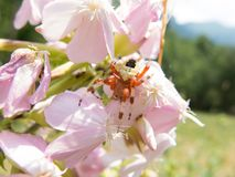 Colorful spider on a flower Stock Images