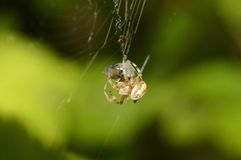 Spiders Lunch Royalty Free Stock Photography