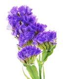 Macro shot of statice flowers isolated on white background. Royalty Free Stock Image