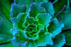 Macro shot of succulent Royalty Free Stock Image