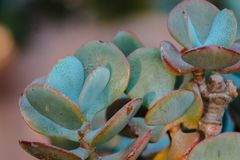 Macro shot of a succulent thriving in a greenhouse. At the Frederik Meijer Gardens stock images