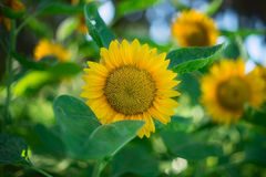 Macro Shot of Sunflower during Daytime Royalty Free Stock Photos