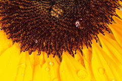 Macro shot of sunflower Royalty Free Stock Images