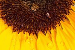 Macro shot of sunflower Royalty Free Stock Images
