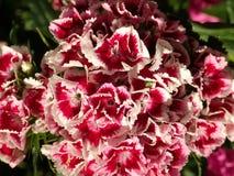 Macro shot of Sweet William flowers Royalty Free Stock Images