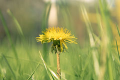 Macro shot of Taraxacum campylodes, yellow flower of young dandellion in lush grass. Low angle Royalty Free Stock Photos