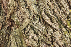 Macro shot of textured background of an old aged beautiful oak tree bark Royalty Free Stock Image