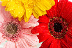 Macro shot of  three colorful daisies. Royalty Free Stock Images