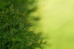 Macro shot thuja branches in the sunlight. Copyspace for text. Stock Image