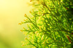 Macro shot thuja branches in the sunlight. Royalty Free Stock Photo