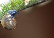 Macro Shot of Tiny Blue Snail. Close up shot of tiny young snail in the garden royalty free stock photo