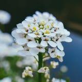 Macro shot of tiny white flower. Beautiful  tiny white flowers close up Stock Photos