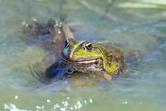 Macro shot of a toad in water. Macro shot Green frog or toad in a pond Royalty Free Stock Photo
