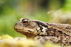 Macro shot of toxic common brown toad. Macro shot of toxic european common brown toad  Bufo , focus on eye Stock Images