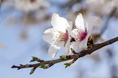 Tree with white blossom. Macro shot of tree with white blossom Royalty Free Stock Photography