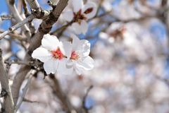 Tree with white blossom. Macro shot of tree with white blossom Stock Photos