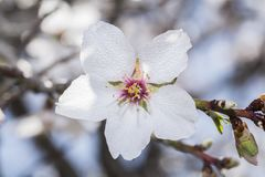 Tree with white blossom. Macro shot of tree with white blossom and water drop Stock Images