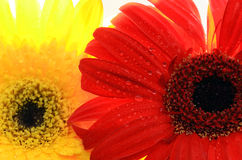 Macro shot of  two colorful daisies. Royalty Free Stock Images
