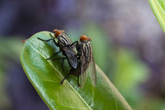 Macro shot of two mating flies Stock Images