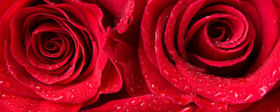 Macro shot of a two red roses Stock Photos