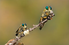 Macro shot of two robber flies during of courtship. Royalty Free Stock Photos