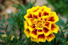 Macro Shot of Two Tone Marigold Flower. Background Royalty Free Stock Image