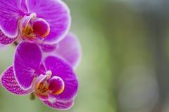 Macro Shot of Unique Orchid of Phalaenopsis Sort Royalty Free Stock Image