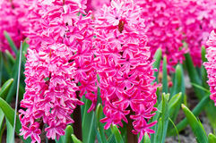 Macro shot of vibrant pink hyacinth Royalty Free Stock Photography