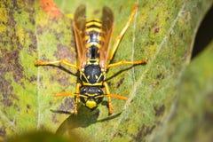 Macro shot of wasp on green leaf Stock Image