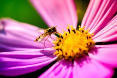 Macro shot of a wasp sitting on a pink blossom. And collecting pollen on a sunny summer day Royalty Free Stock Photography