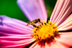 Macro shot of a wasp sitting on a pink blossom. And collecting pollen on a sunny summer day Royalty Free Stock Images