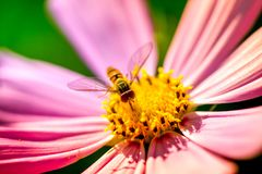 Macro shot of a wasp sitting on a pink blossom. And collecting pollen on a sunny summer day Stock Images