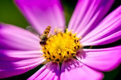 Macro shot of a wasp sitting on a pink blossom. And collecting pollen on a sunny summer day Royalty Free Stock Photos