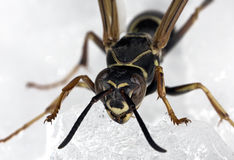 Wasp Macro Royalty Free Stock Photography