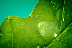 The macro shot of water drops on leaf. Royalty Free Stock Image