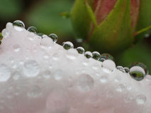 Macro shot of water drops on a pink rose petal. Macro shot of fine water droplets on a pink rose petal. Reflections of leaves etc. in the water droplets royalty free stock photography