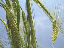 Macro shot of wheat ears. With blue sky Stock Image